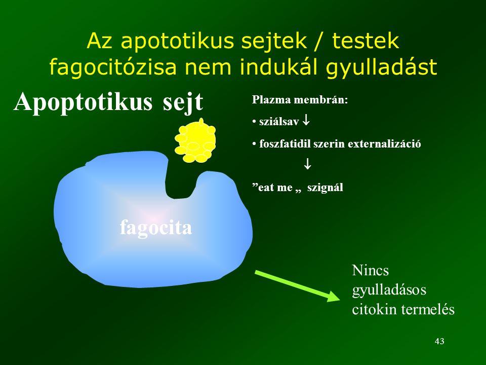 Az apototikus sejtek / testek fagocitózisa nem indukál gyulladást