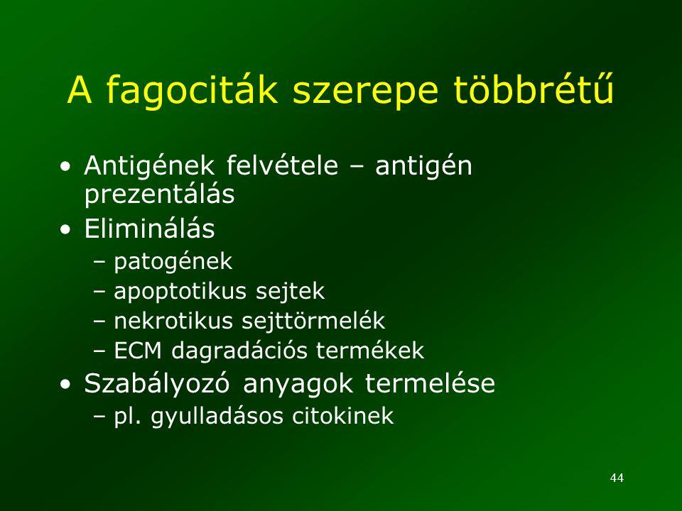 A fagociták szerepe többrétű