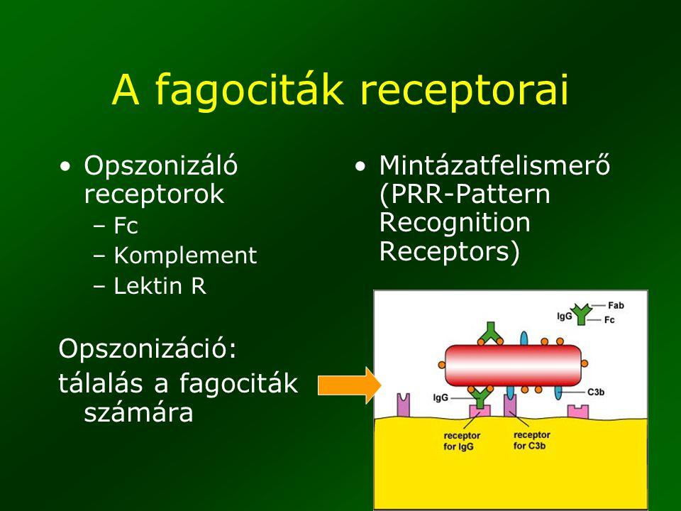 A fagociták receptorai