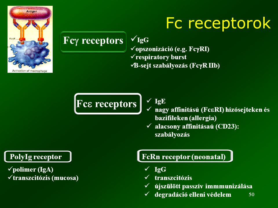 Fc receptorok Fcg receptors Fce receptors IgG PolyIg receptor