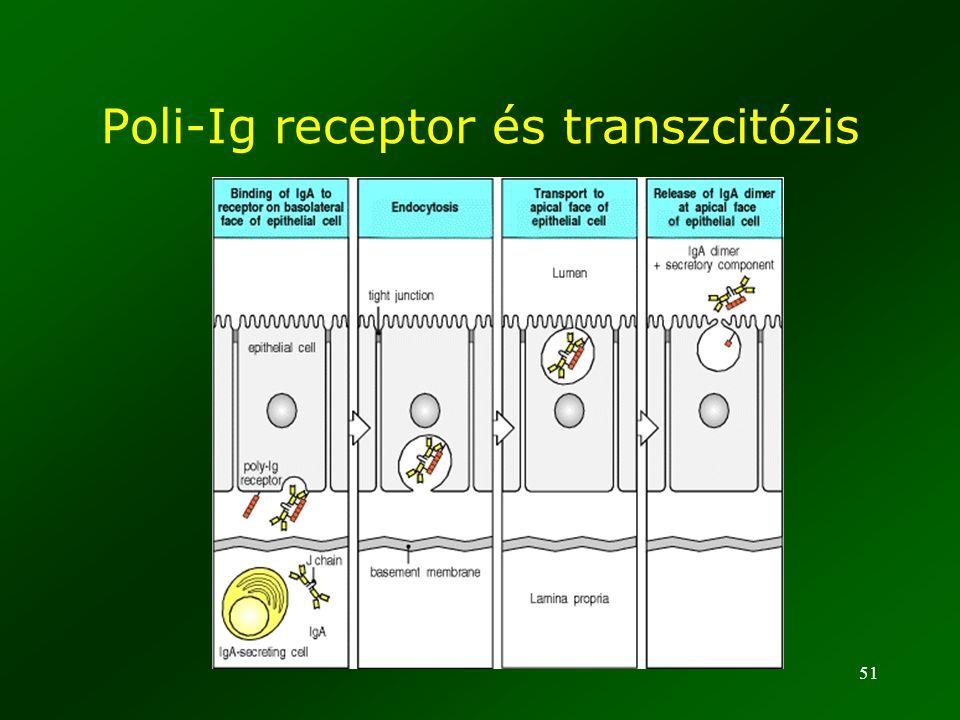 Poli-Ig receptor és transzcitózis