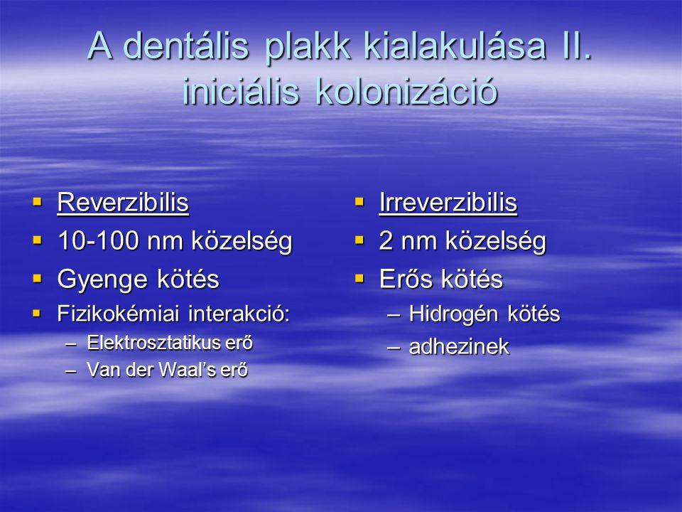 A dentális plakk kialakulása II. iniciális kolonizáció
