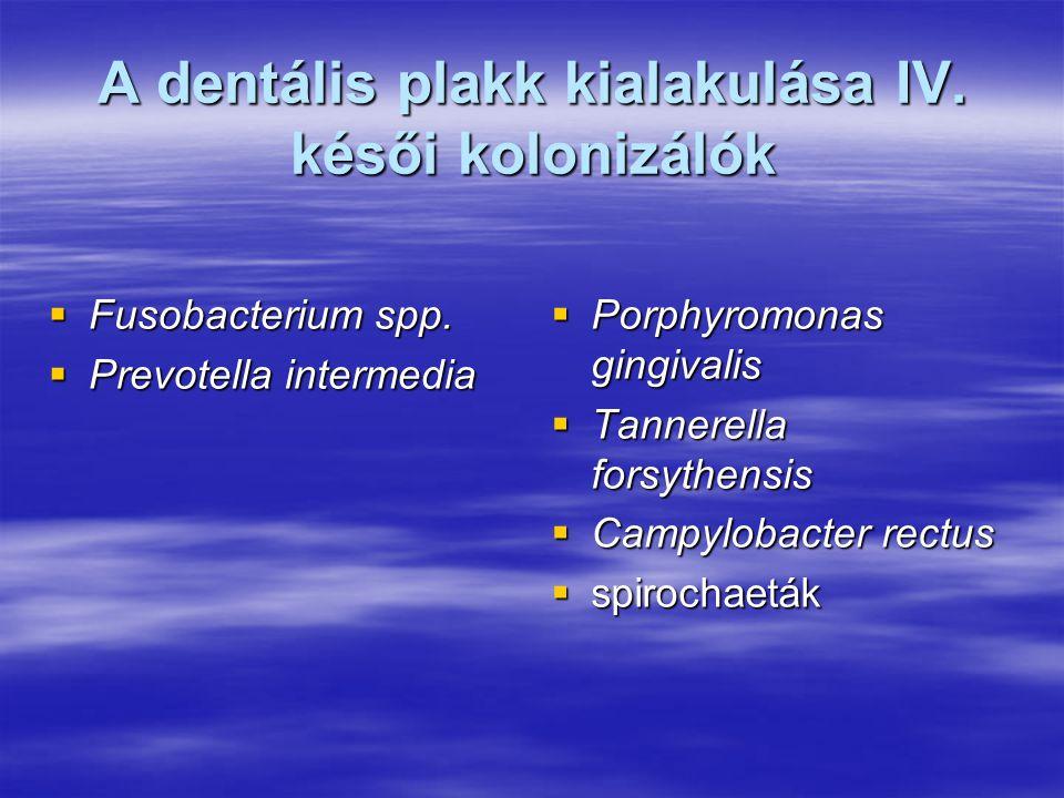 A dentális plakk kialakulása IV. késői kolonizálók