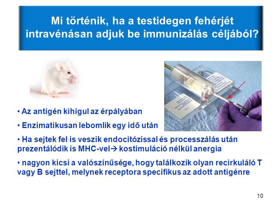 Mi történik, ha a testidegen fehérjét intravénásan adjuk be immunizálás céljából