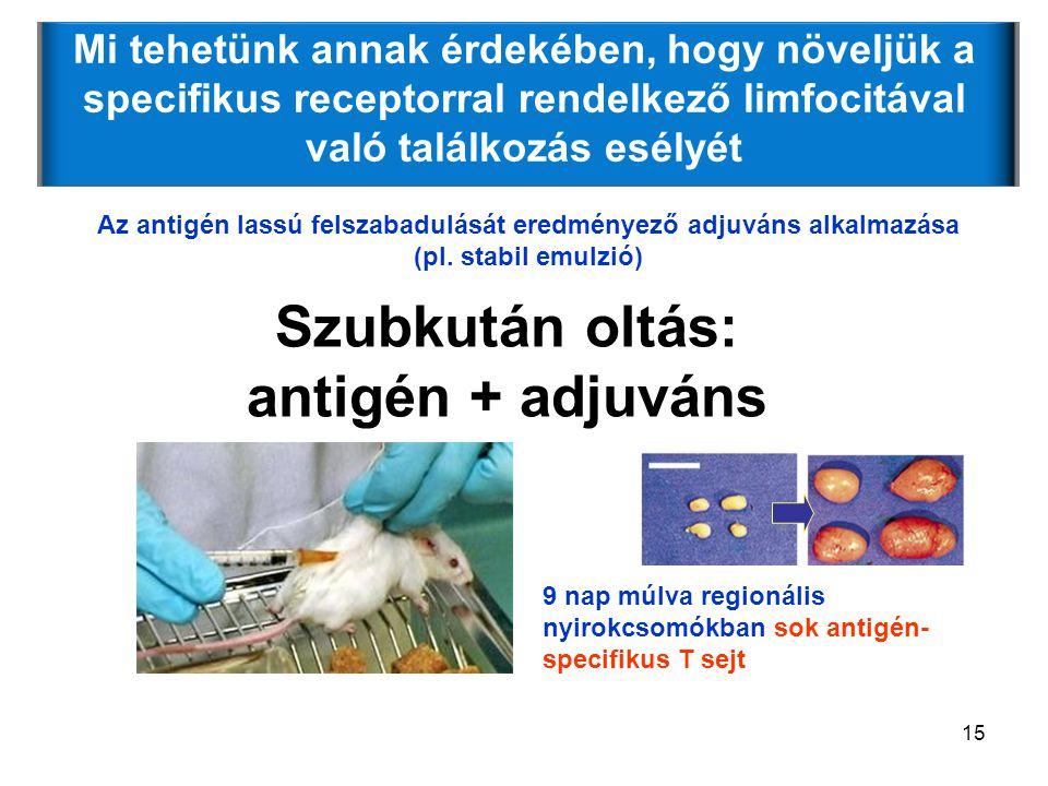 Szubkután oltás: antigén + adjuváns