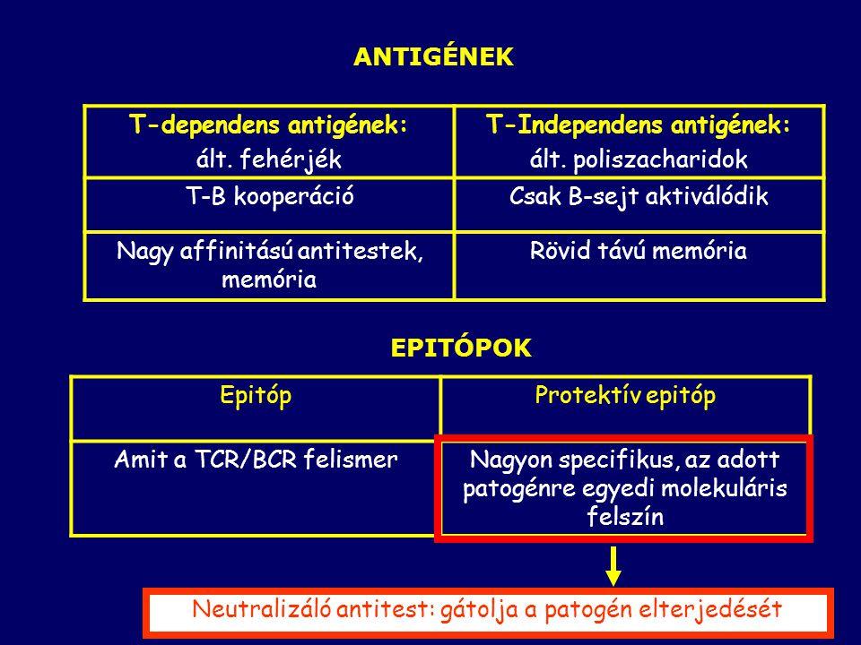 T-dependens antigének: ált. fehérjék T-Independens antigének: