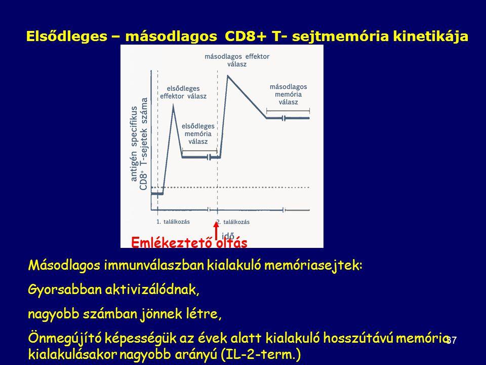 Elsődleges – másodlagos CD8+ T- sejtmemória kinetikája