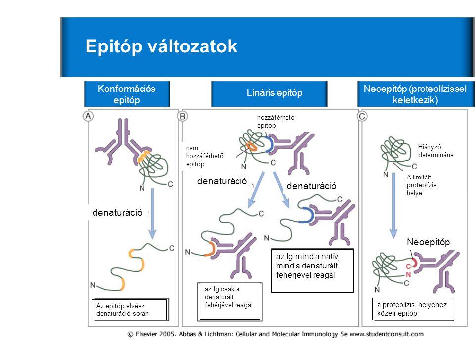Neoepitóp (proteolízissel keletkezik)