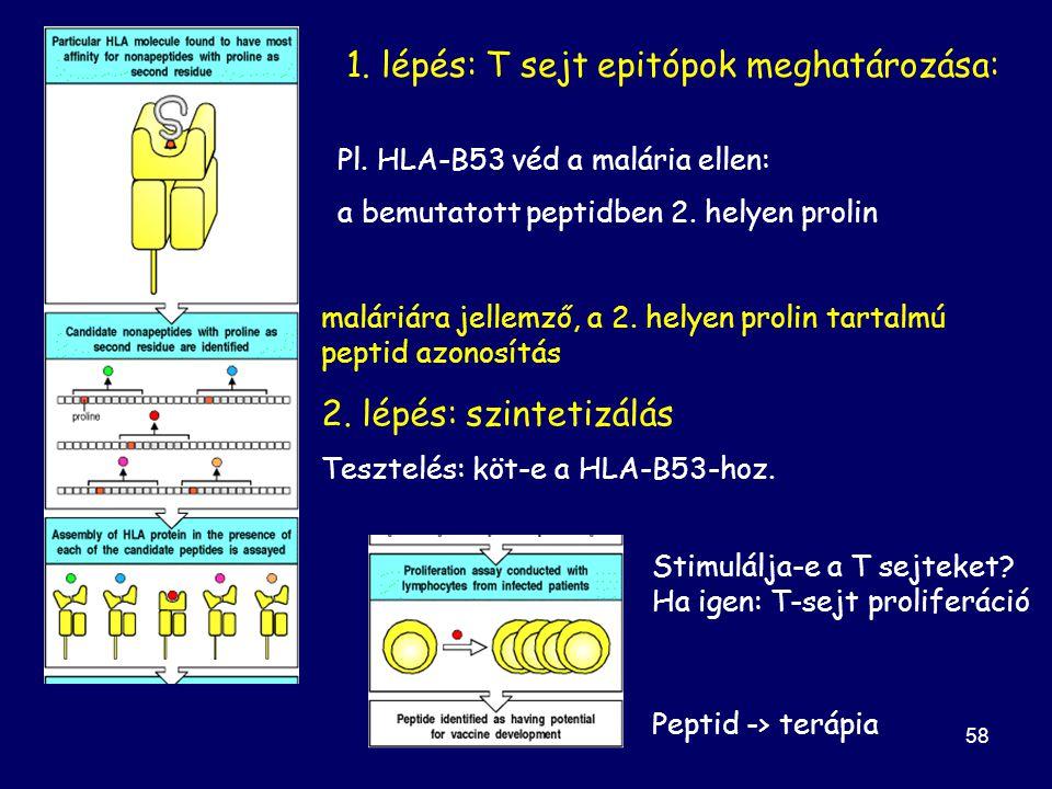 1. lépés: T sejt epitópok meghatározása: