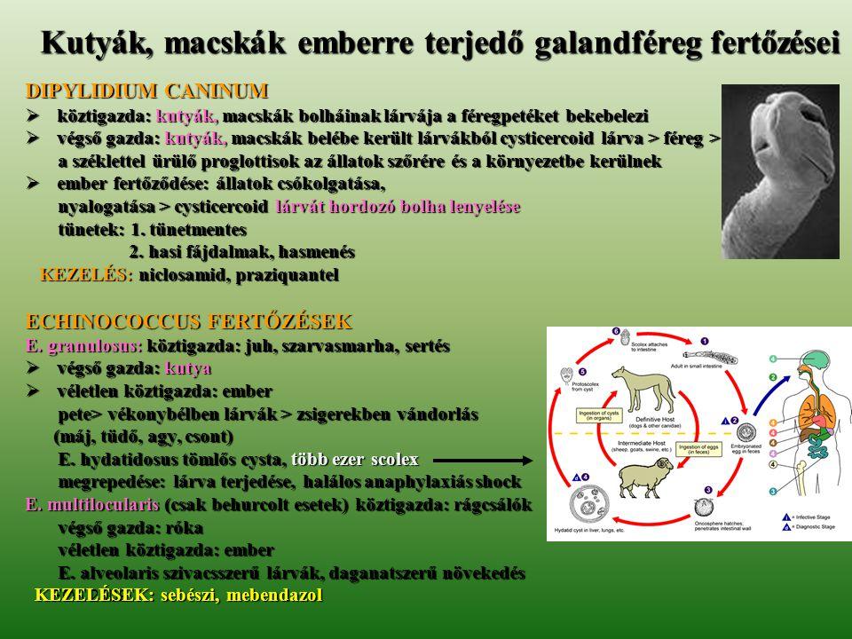 Kutyák, macskák emberre terjedő galandféreg fertőzései