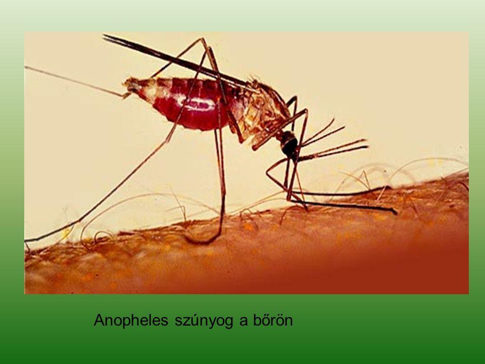 Anopheles szúnyog a bőrön