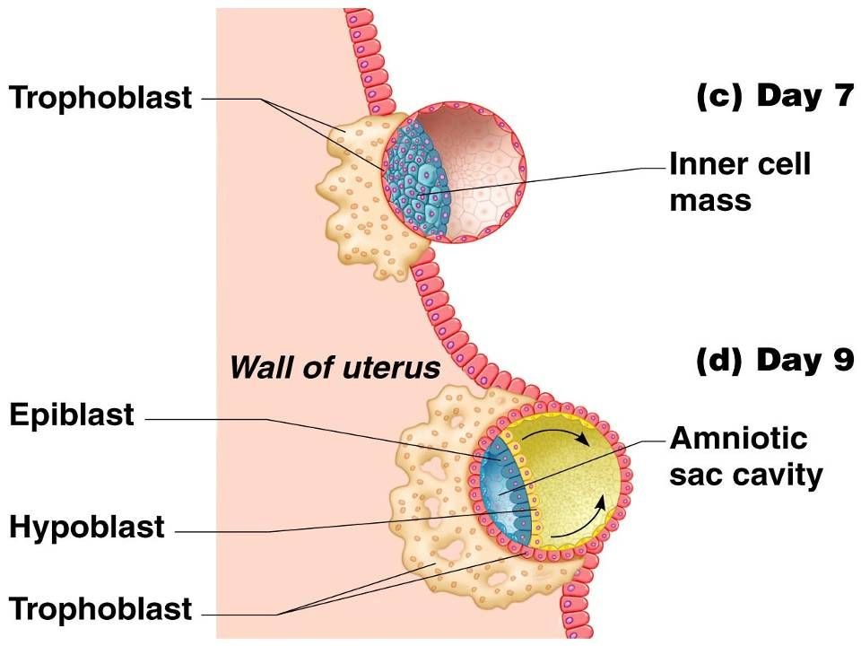 Implantation of the Blastocyst