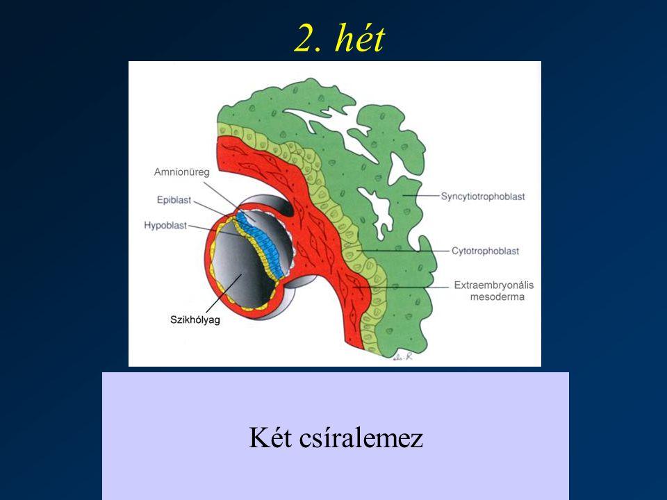 2. hét Két csíralemez