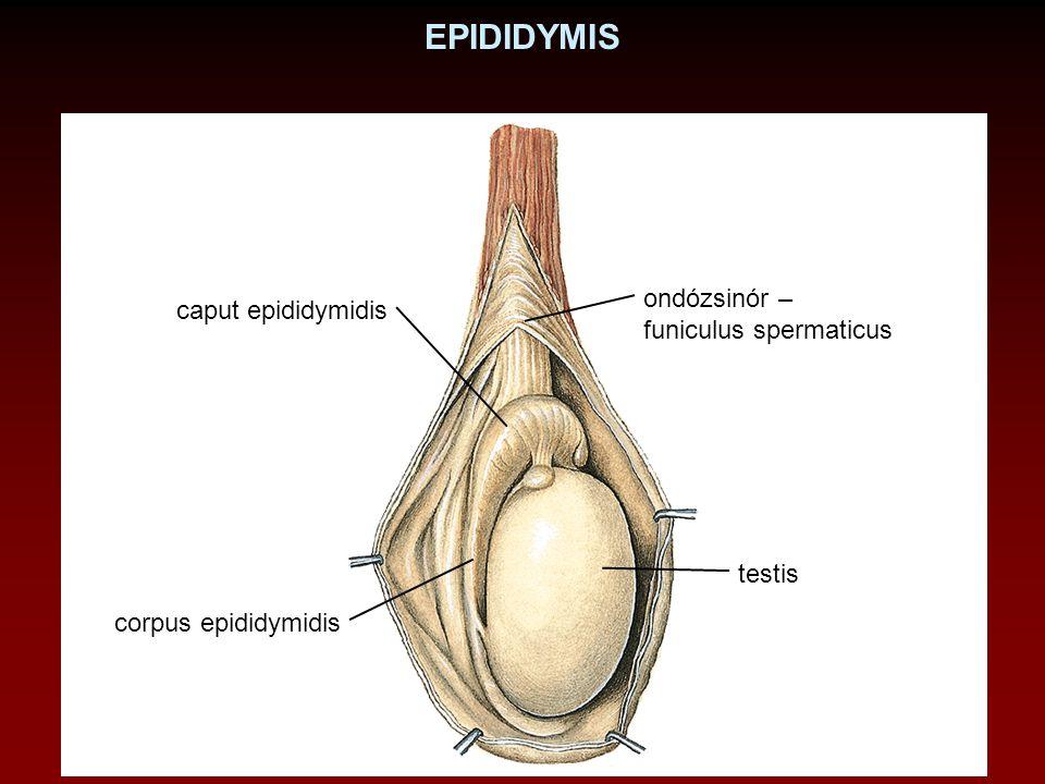 EPIDIDYMIS ondózsinór – caput epididymidis funiculus spermaticus