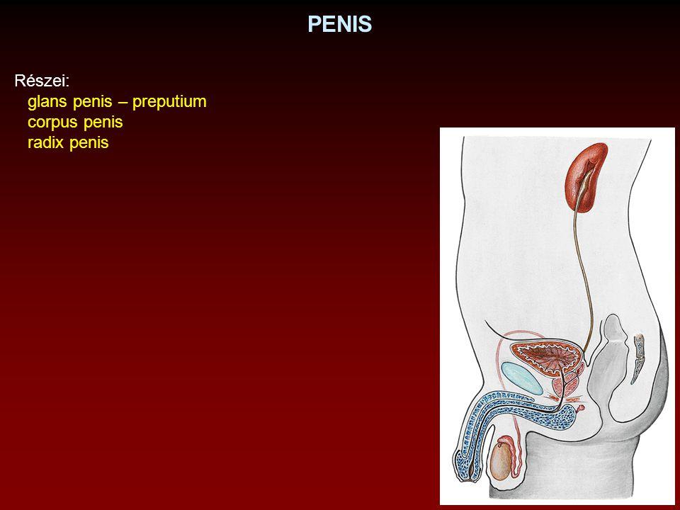 PENIS Részei: glans penis – preputium corpus penis radix penis