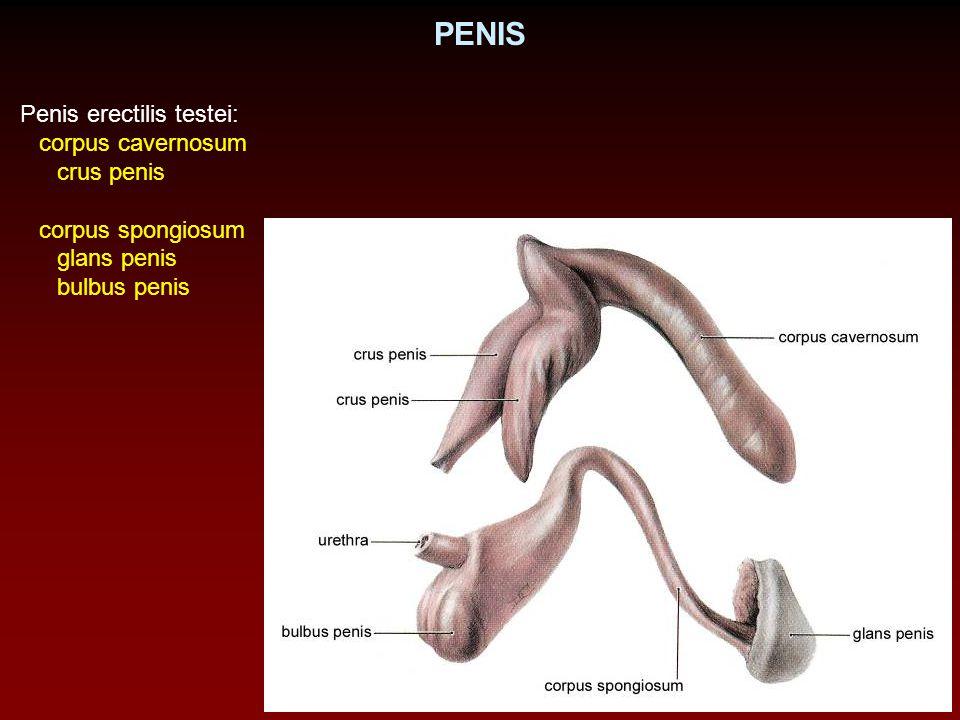 PENIS Penis erectilis testei: corpus cavernosum crus penis