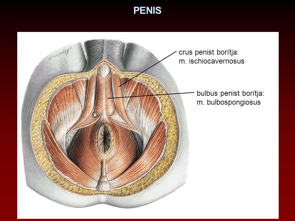 PENIS crus penist borítja: m. ischiocavernosus bulbus penist borítja: