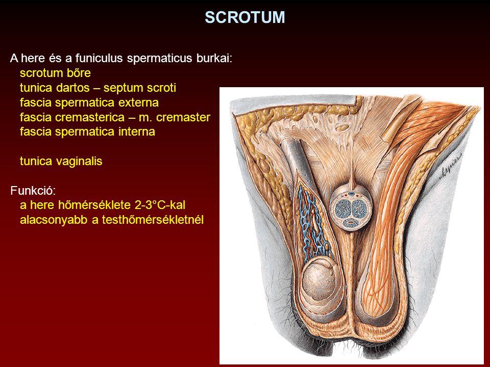 SCROTUM A here és a funiculus spermaticus burkai: scrotum bőre
