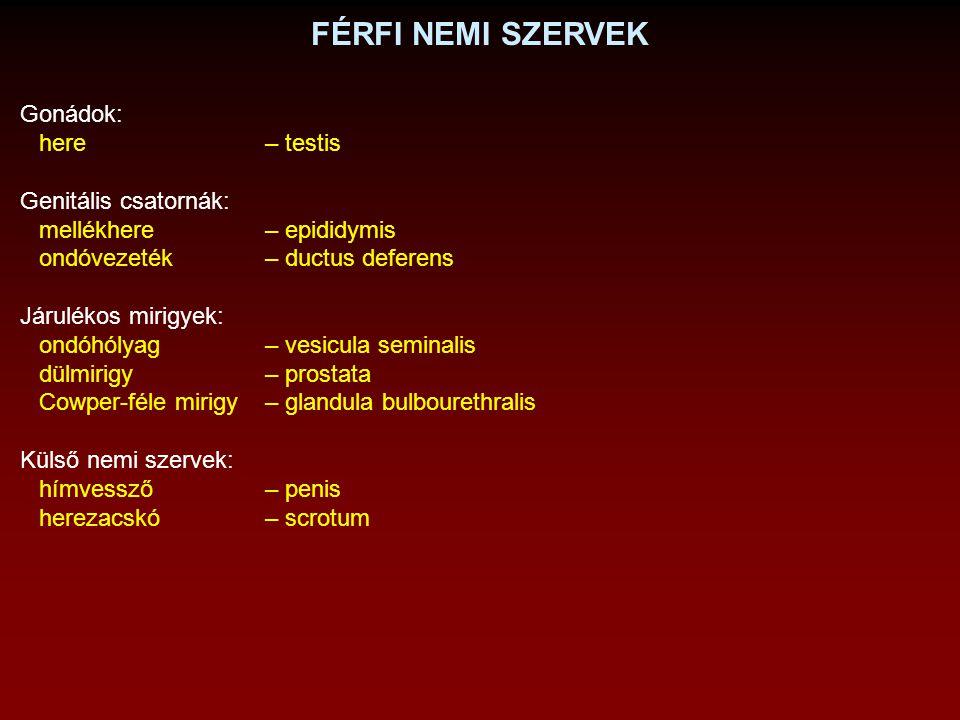 FÉRFI NEMI SZERVEK Gonádok: here – testis Genitális csatornák: