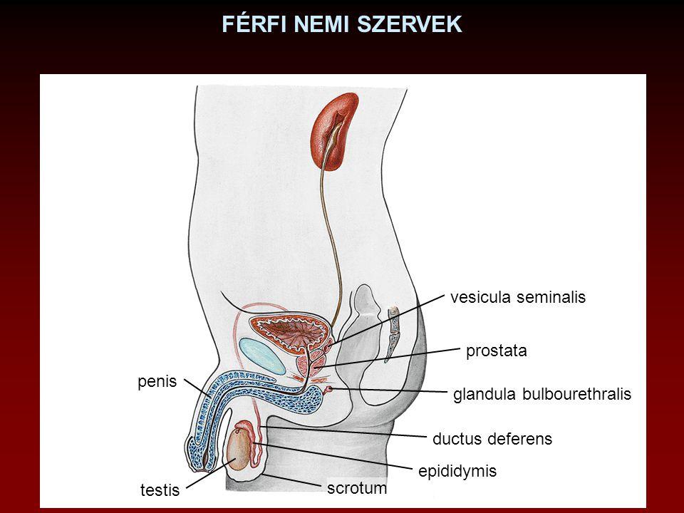 FÉRFI NEMI SZERVEK vesicula seminalis prostata penis