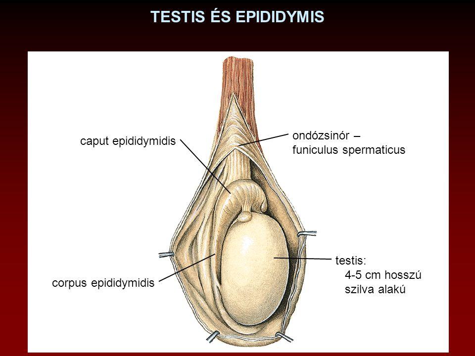 TESTIS ÉS EPIDIDYMIS ondózsinór – caput epididymidis