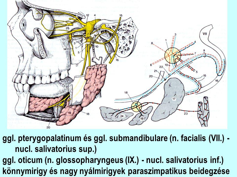ggl. pterygopalatinum és ggl. submandibulare (n. facialis (VII.) -