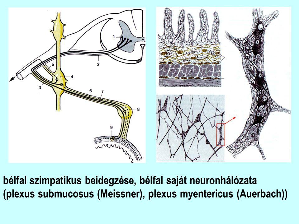 bélfal szimpatikus beidegzése, bélfal saját neuronhálózata