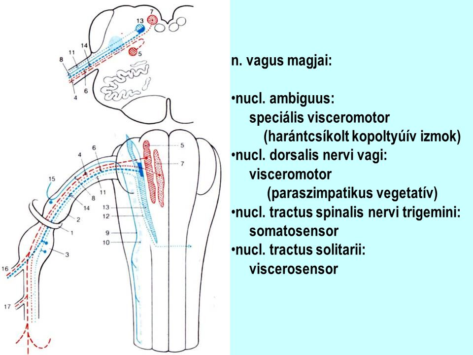 n. vagus magjai: nucl. ambiguus: speciális visceromotor. (harántcsíkolt kopoltyúív izmok) nucl. dorsalis nervi vagi: