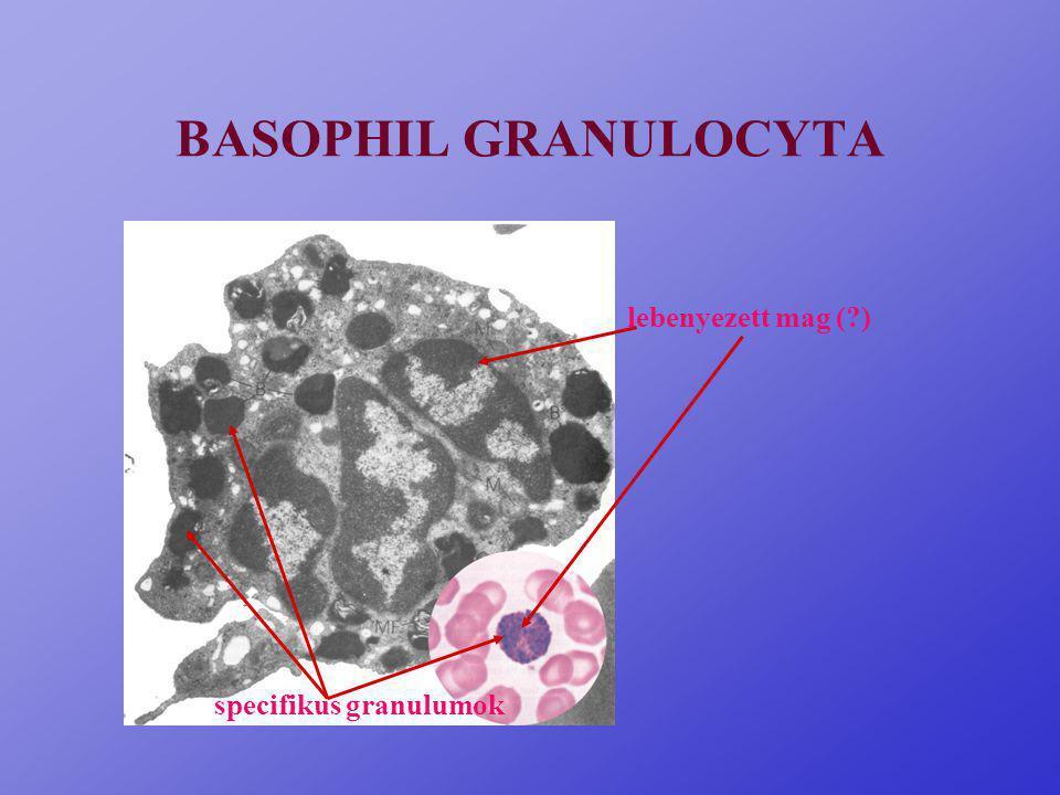 BASOPHIL GRANULOCYTA lebenyezett mag ( ) specifikus granulumok