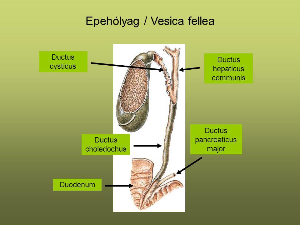 Epehólyag / Vesica fellea