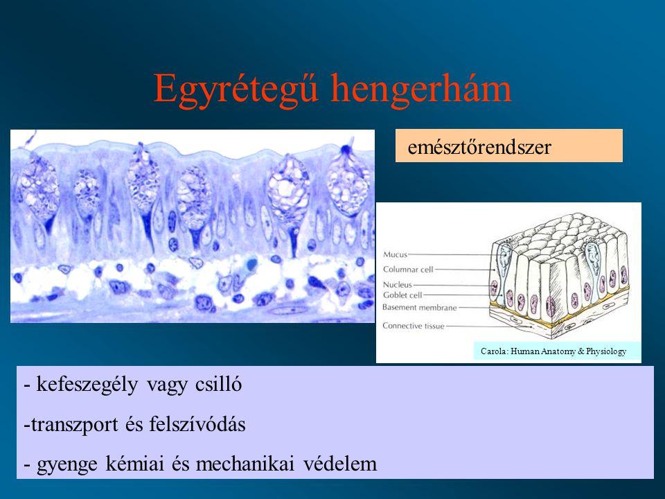 Egyrétegű hengerhám emésztőrendszer kefeszegély vagy csilló