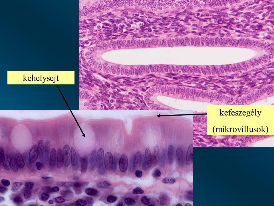 kehelysejt kefeszegély (mikrovillusok)
