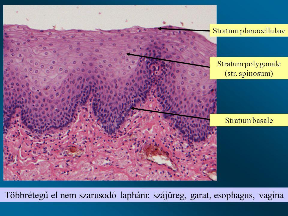 Többrétegű el nem szarusodó laphám: szájüreg, garat, esophagus, vagina