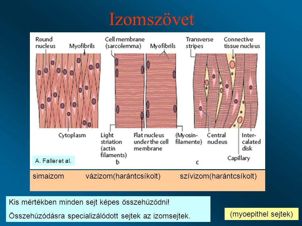 Izomszövet simaizom vázizom(harántcsíkolt) szívizom(harántcsíkolt)
