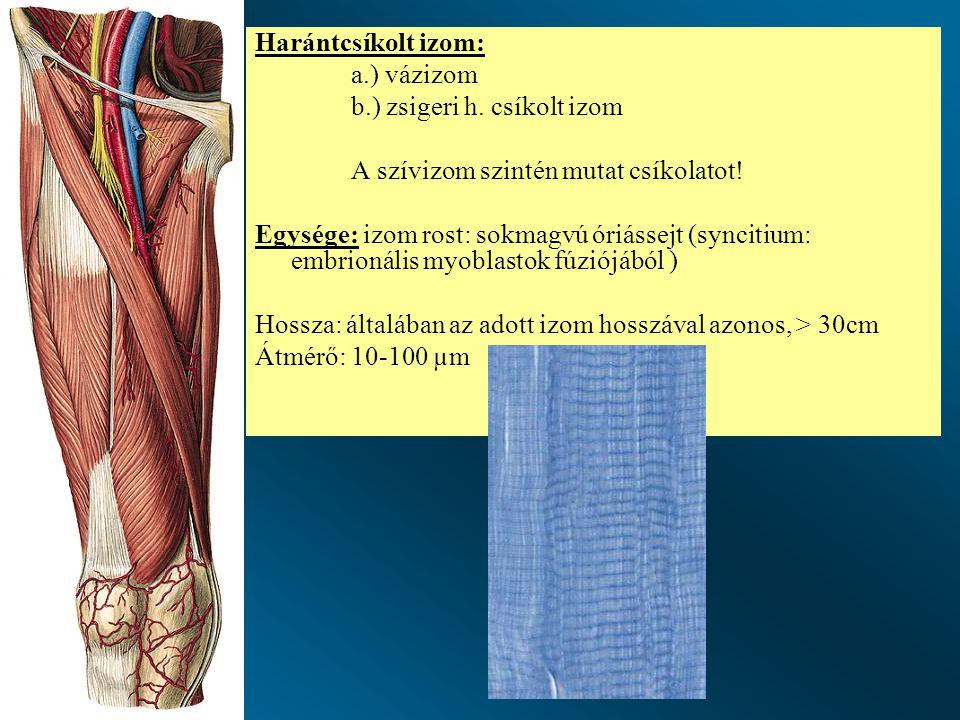 Harántcsíkolt izom: a.) vázizom. b.) zsigeri h. csíkolt izom. A szívizom szintén mutat csíkolatot!