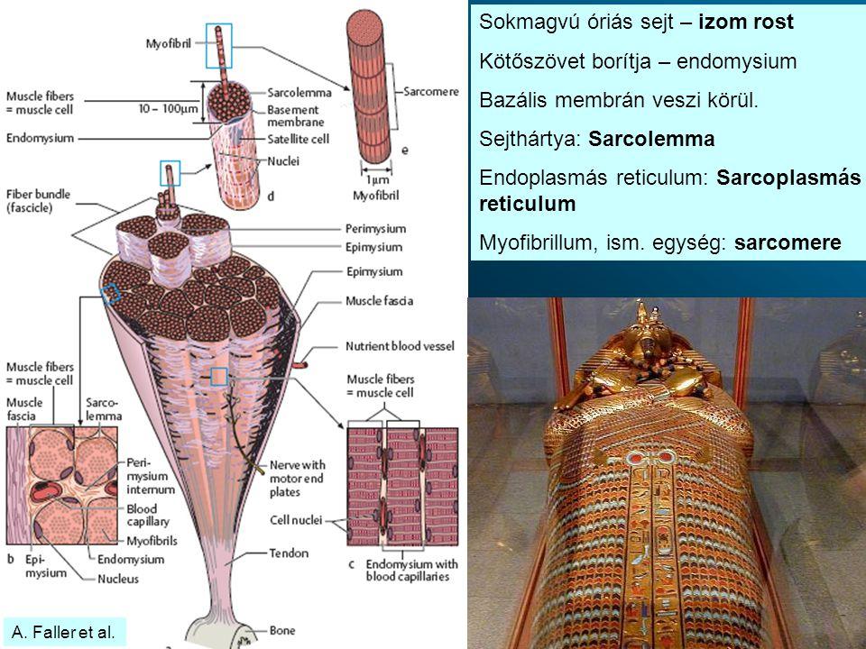 Sokmagvú óriás sejt – izom rost Kötőszövet borítja – endomysium