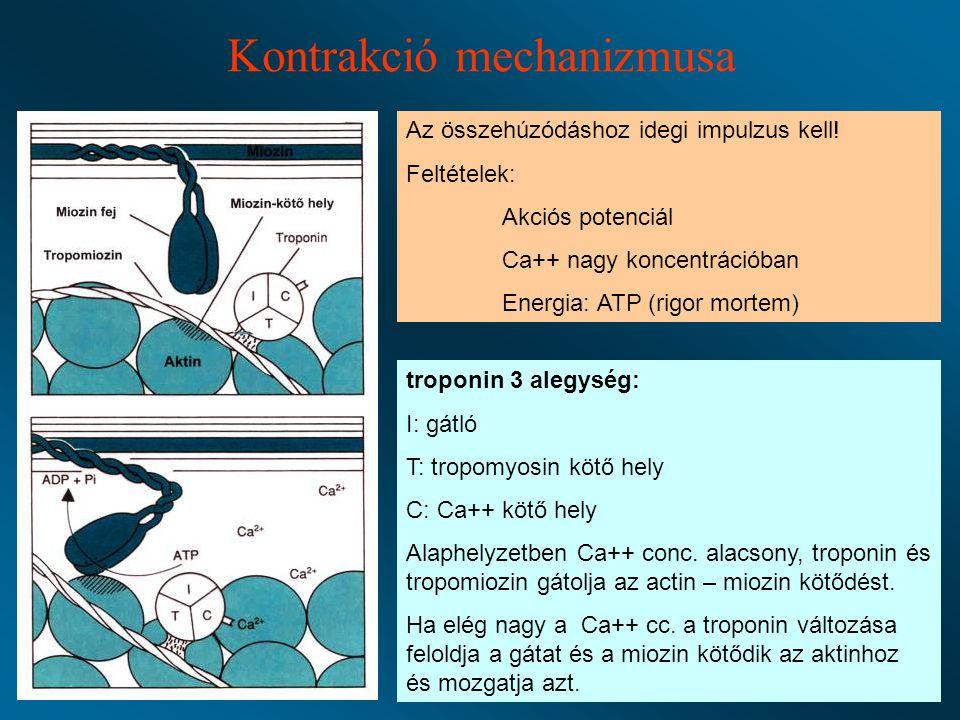 Kontrakció mechanizmusa