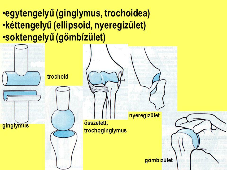 egytengelyű (ginglymus, trochoidea)