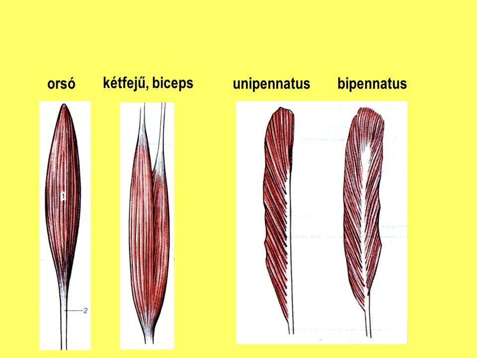 orsó kétfejű, biceps unipennatus bipennatus