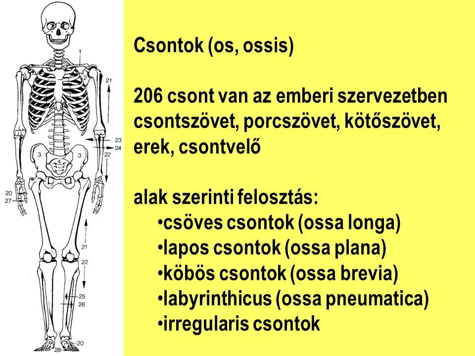 Csontok (os, ossis) 206 csont van az emberi szervezetben. csontszövet, porcszövet, kötőszövet, erek, csontvelő.