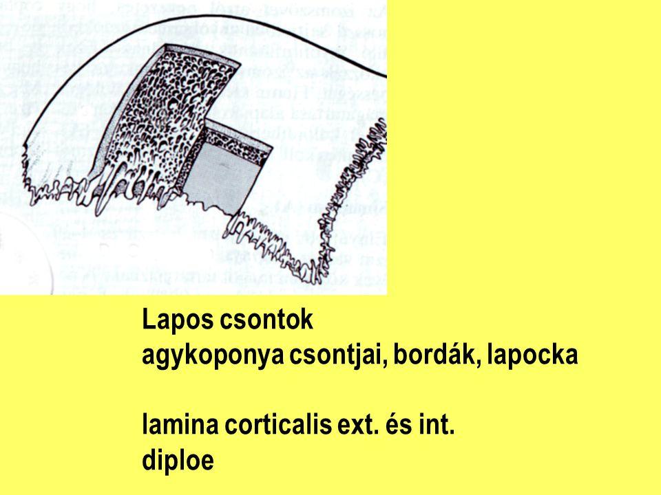 Lapos csontok agykoponya csontjai, bordák, lapocka lamina corticalis ext. és int. diploe