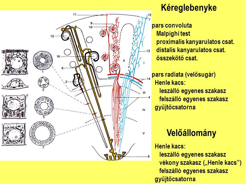 Kéreglebenyke Velőállomány pars convoluta Malpighi test