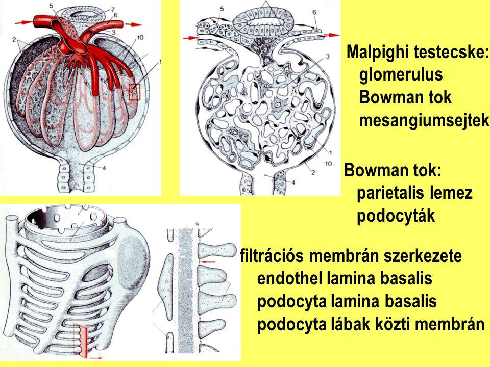 Malpighi testecske: glomerulus. Bowman tok. mesangiumsejtek. Bowman tok: parietalis lemez. podocyták.