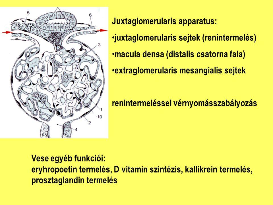 Juxtaglomerularis apparatus: