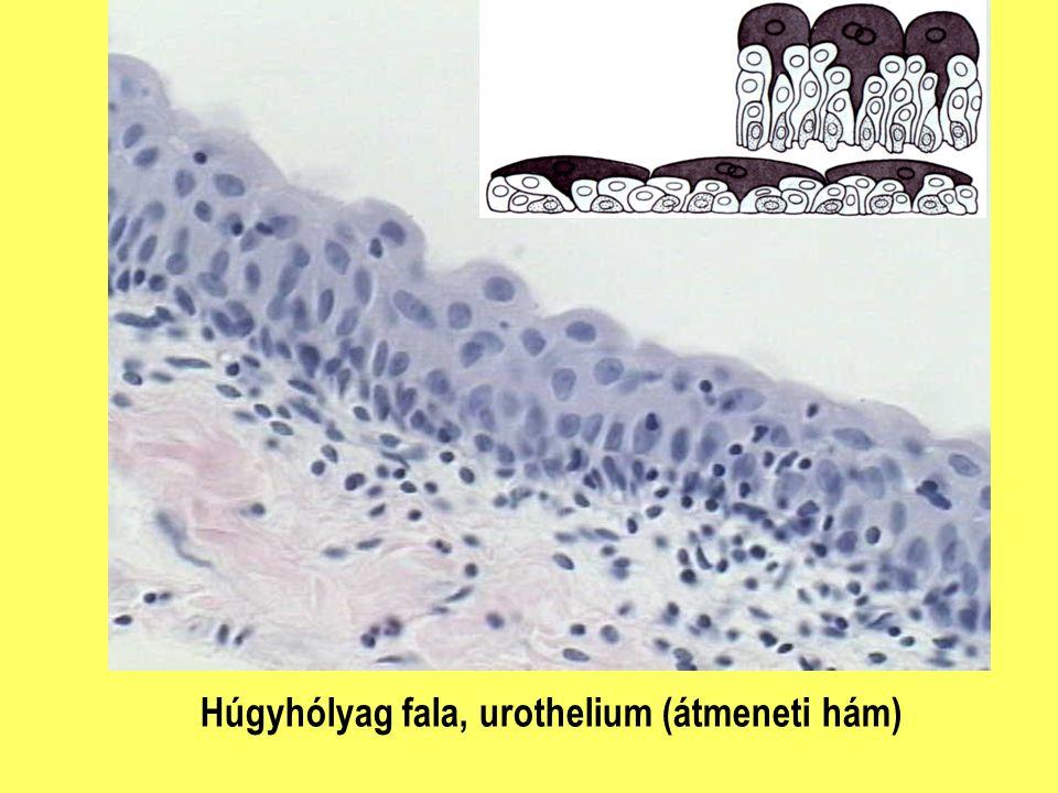 Húgyhólyag fala, urothelium (átmeneti hám)