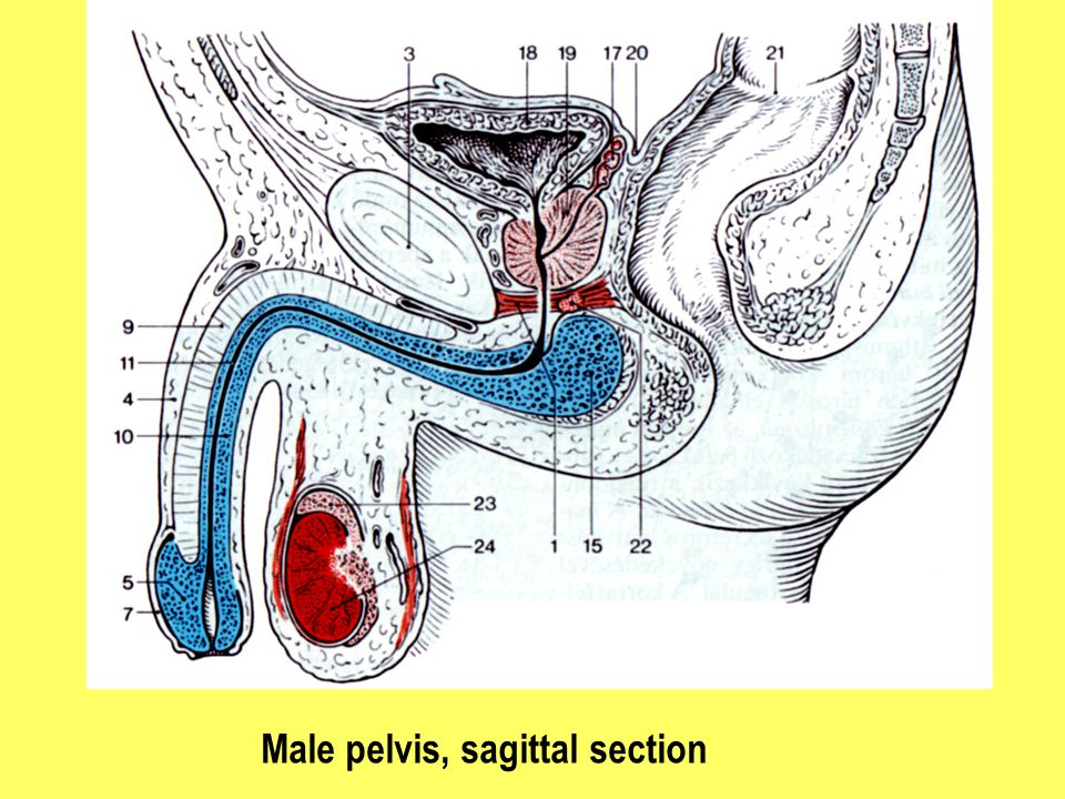 Male pelvis, sagittal section