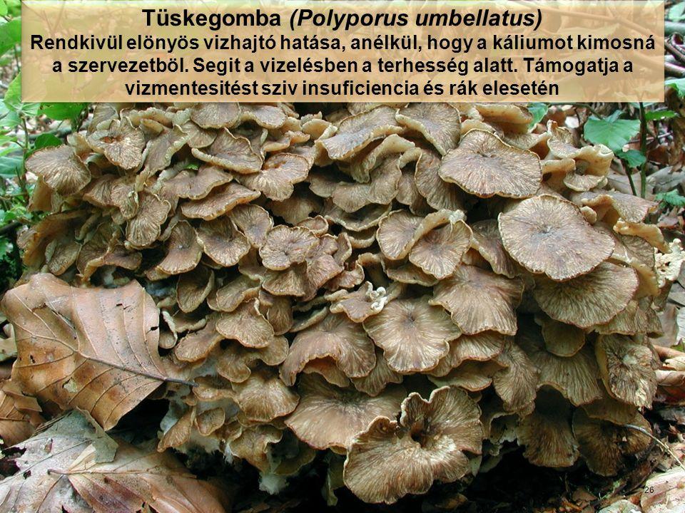 Tüskegomba (Polyporus umbellatus)