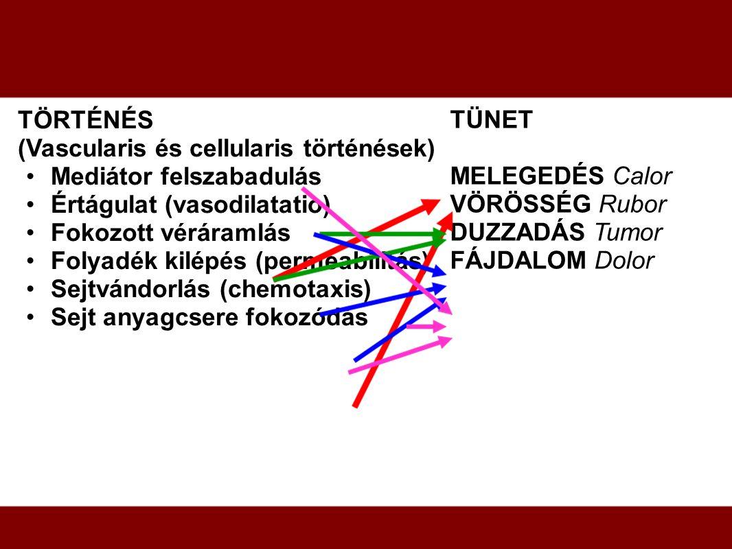 TÖRTÉNÉS (Vascularis és cellularis történések) Mediátor felszabadulás. Értágulat (vasodilatatio) Fokozott véráramlás.