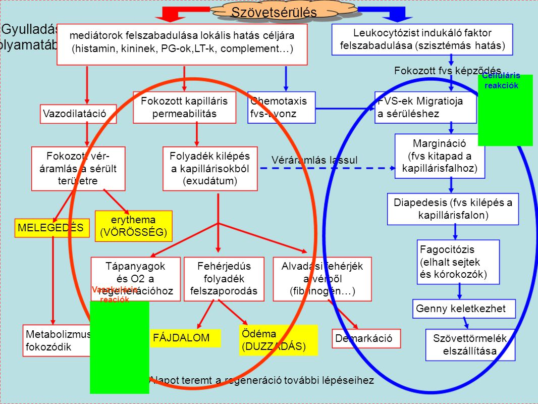 Szövetsérülés Gyulladás folyamatábra