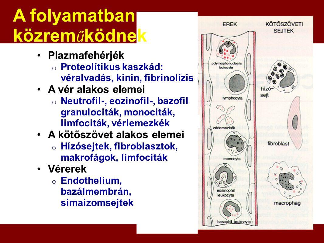 A folyamatban közreműködnek Plazmafehérjék A vér alakos elemei